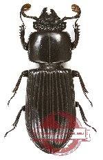 Passalidae sp. 18A