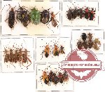Scientific lot no. 129 Heteroptera (29 pcs - 15 pcs A2)