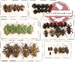 Scientific lot no. 130 Heteroptera (43 pcs - 9 pcs A2)