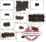 Scientific lot no. 122 Tenebrionidae (79 pcs)