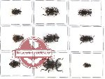 Scientific lot no. 120 Tenebrionidae (9 pcs)