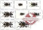 Scientific lot no. 126 Tenebrionidae (8 pcs - 1 pc A2)