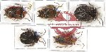 Scientific lot no. 133 Heteroptera (Pentatomidae) (5 pcs - 3 pcs A2)