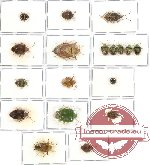 Scientific lot no. 135 Heteroptera (Pentatomidae) (18 pcs A, A-, A2)