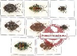 Scientific lot no. 136 Heteroptera (Scutellarinae) (8 pcs - 4 pcs A2)