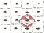 Scientific lot no. 36 Eucnemidae (16 pcs A, A-, A2)