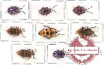 Scientific lot no. 123A Heteroptera (Scutellarinae) (8 pcs)