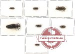 Scientific lot no. 31 Eucnemidae (7 pcs - 25 pcs A2)