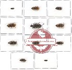 Scientific lot no. 33 Eucnemidae (11 pcs A, A-, A2)
