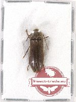 Scientific lot no. 32 Eucnemidae (1 pc A2)