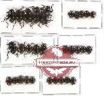 Scientific lot no. 119 Tenebrionidae (30 pcs A-, A2)