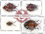 Scientific lot no. 134 Heteroptera (4 pcs - 2 pcs A2)