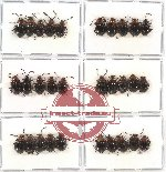 Scientific lot no. 12 Endomychidae (30 pcs)